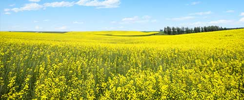 Canola Flowers, U.S Highway 95, Cottonwood, Idaho